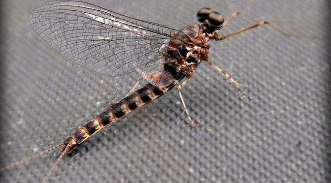 Gray Drake Mayfly