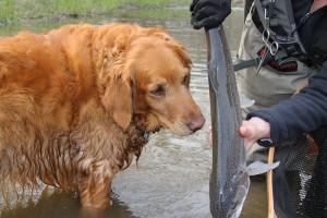 fly fishing retriever dog steelhead