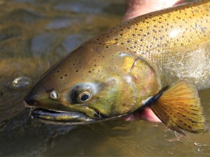 Root River coho fly fishing