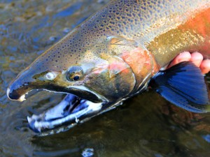 Root River-coho fly fishing